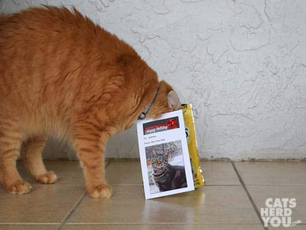 orange tabby cat with head in treat bag
