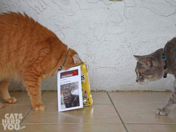 gray tabby cat sees orange tabby cat eating