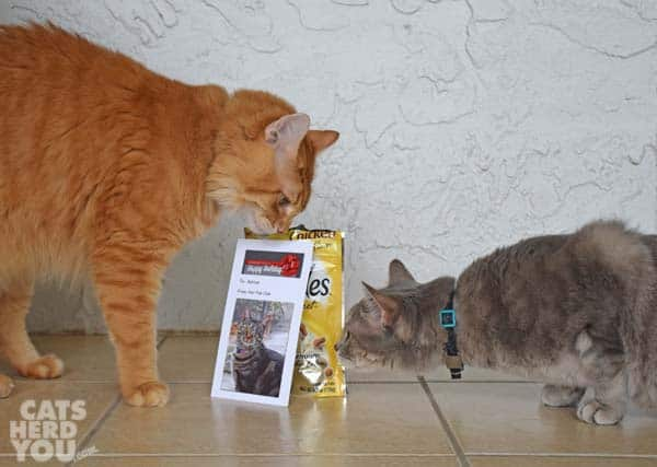 gray tabby cat looks at label on food orange tabby cat is eating