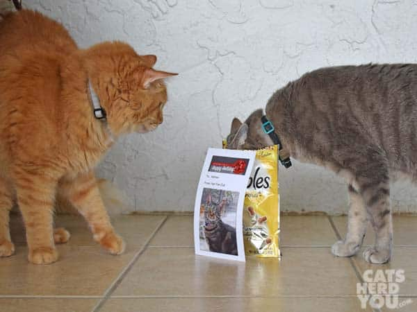 orange tabby cat watches gray tabby cat eat from bag