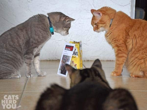 gray tabby cat and orange tabby cat face off over treats