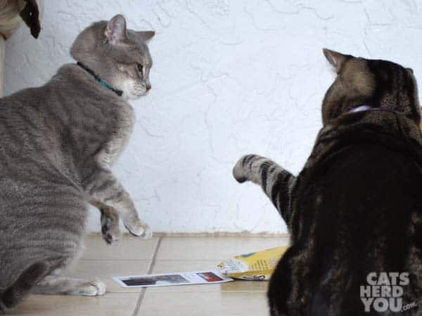 brown tabby cat swats gray tabby cat