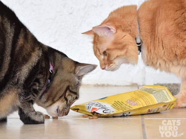 Orange tabby cat approaches brown tabby cat as she eats
