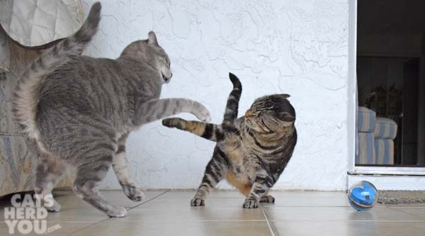 one-eyed brown tabby cat defends treat-dispensing toy from gray tabby cat