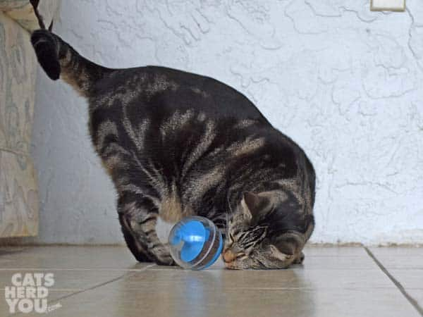 one-eyed brown tabby cat noses treat-dispensing toy