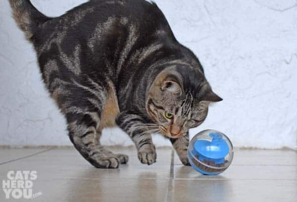 one-eyed brown tabby cat plays with treat-dispensing toy