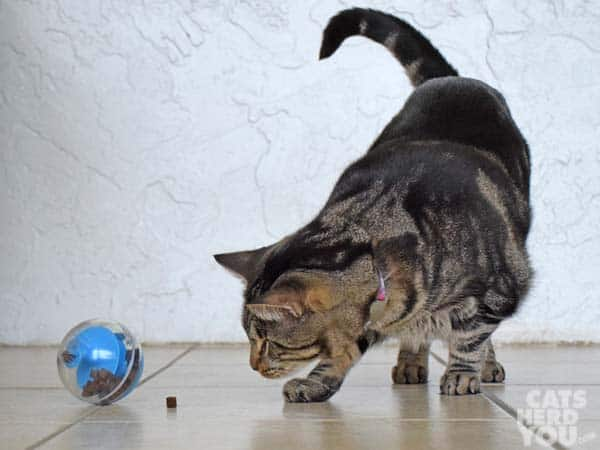 one-eyed brown tabby cat sees treat that fell from treat-dispensing cat toy