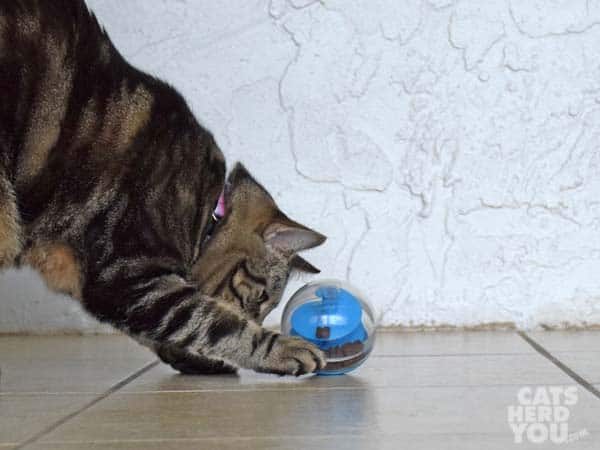 brown tabby cat plays with treat dispensing toy
