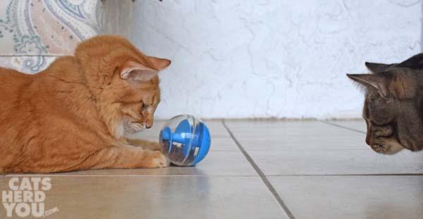 Orange tabby cat has treat dispensing toy as brown tabby cat looks on
