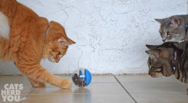Orange tabby cat plays with treat dispensing toy as brown tabby cat and gray tabby cat look on