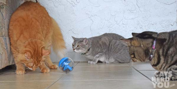 Orange cat looks for treats as gray tabby cat and brown tabby cat look on