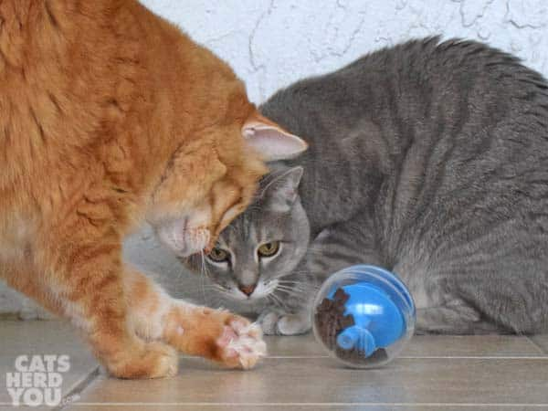 Orange tabby cat plays with treat dispensing toy as gray tabby cat looks on