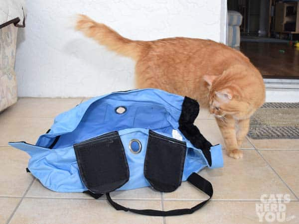 orange tabby cat looks at Buster Bag