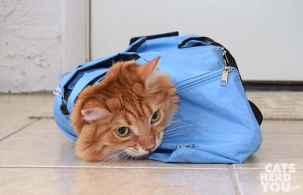 orange tabby cat in buster bag