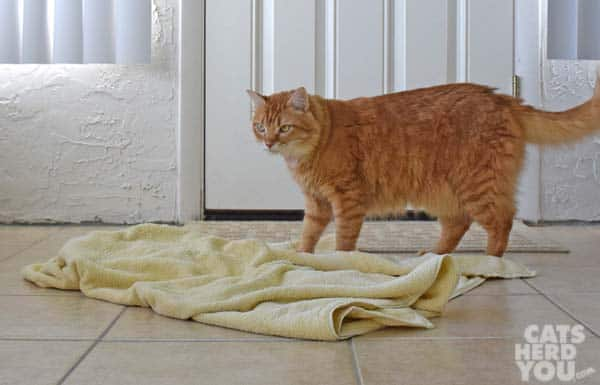 orange tabby cat stands over towel on floor