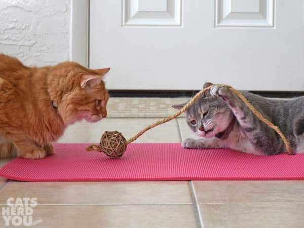 orange tabby cat watches gray tabby cat play with rope