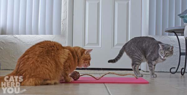 orange tabby cat and gray tabby cat play with feline yogi mat