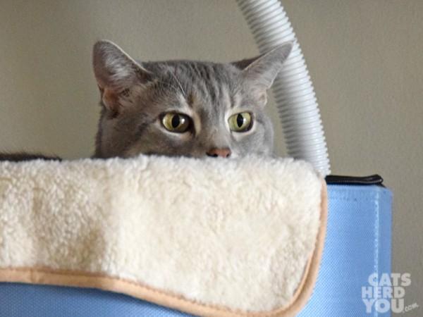 gray tabby cat in sleepyod with cloudpuff blankie
