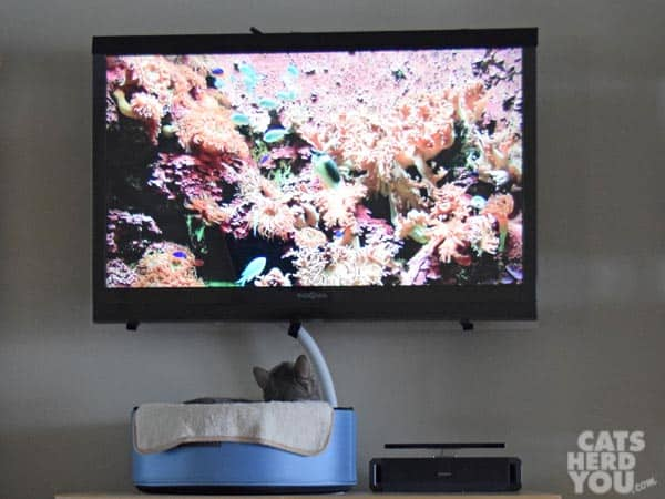 gray tabby cat watches tv from the comfort of his sleepypod