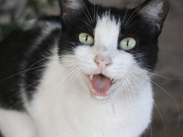 Black and white cat meows