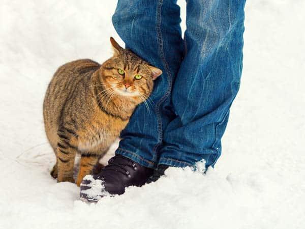 cat rubbing against legs in snow