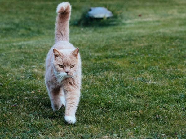 """cat with upright """"happy"""" tail"""