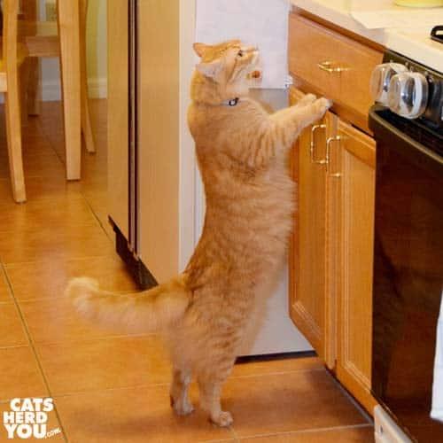orange tabby cat peeks onto counter