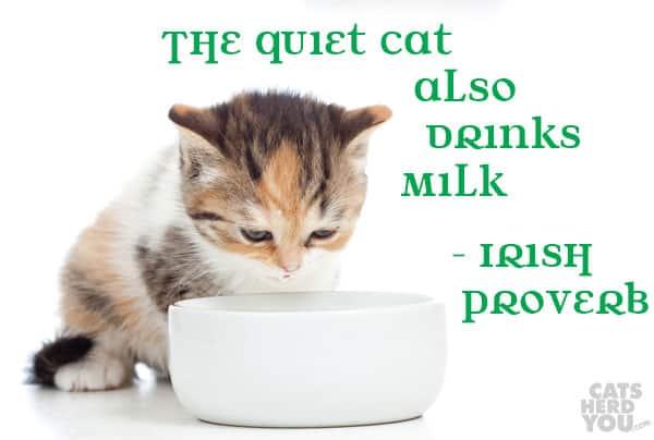 The quiet cat also drinks milk