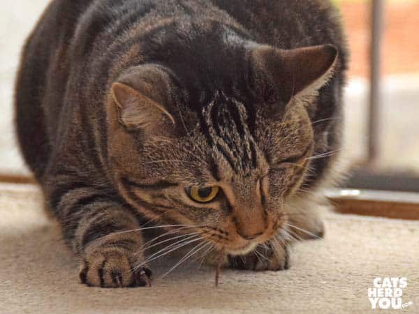 one-eyed brown tabby cat eating lizard