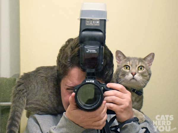 gray cat sits on human's shoulders while she takes photo with camera