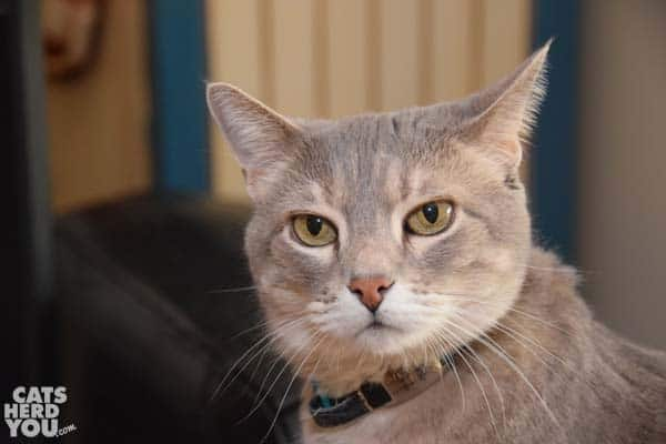 gray tabby cat with skeptical facial expresison