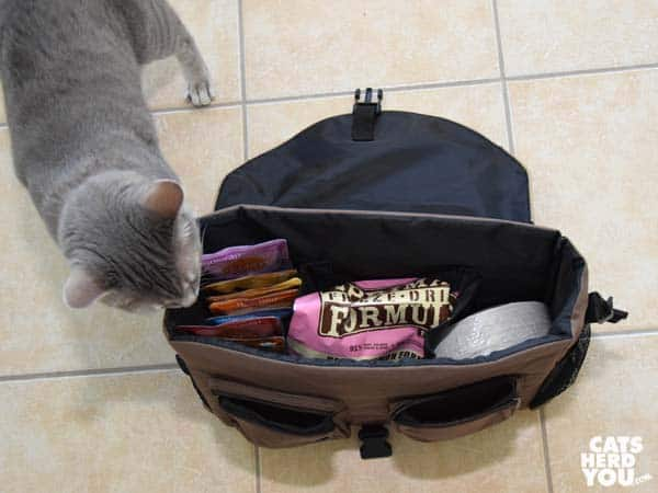 gray tabby cat checks out the contents of evacuation bag