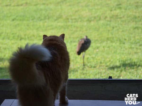 orange tabby cat watches bird outside window