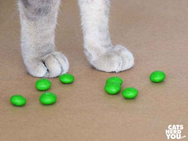gray tabby cat paws and green M&Ms