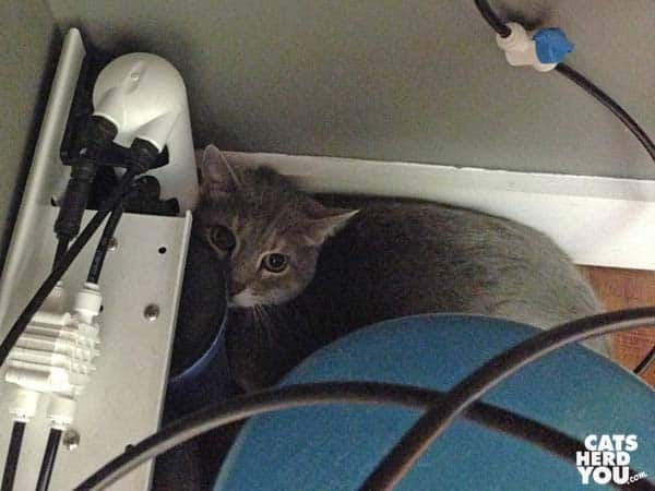 Gray tabby cat hiding at vet