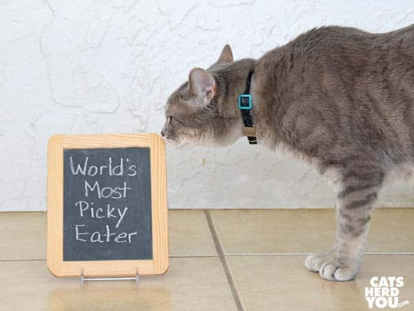 "Gray tabby cat looks at ""World's Most Picky Eater"" sign"