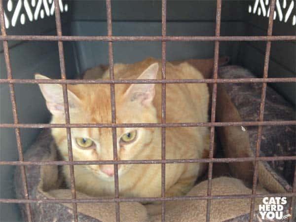 orange kitten in carrier