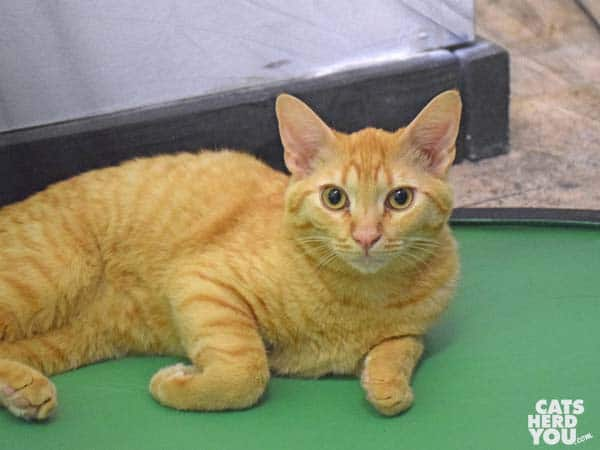 juvenile orange tabby - adoptable from Candy's Cats
