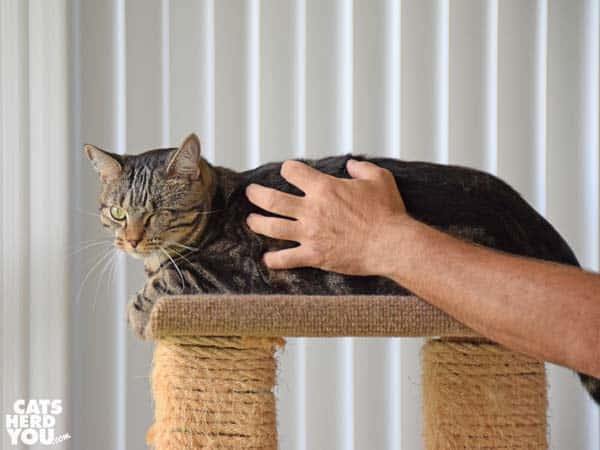 One-eyed brown cat is petted by a man's hand