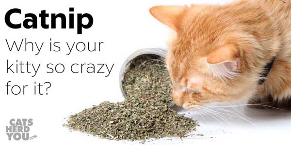 catnip - why is your kitty so crazy for it?