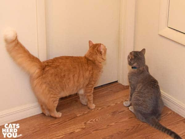 gray tabby cat and orange tabby cat look at closed door