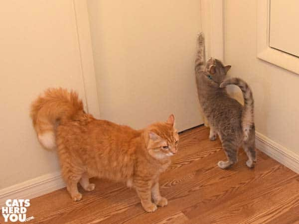 Gray tabby cat tries to open closed door while orange tabby cat waits