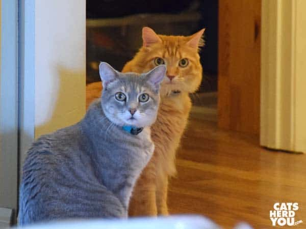 gray tabby cat and orange tabby cat