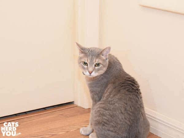 gray tabby cat in front of closed door