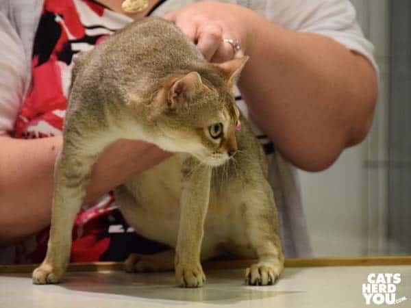 Singapura cat in judging ring