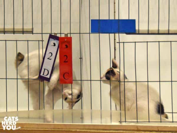 bobtail kittens in show cages