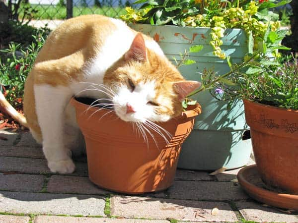 cat rubbing in catnip plant in pot. photo courtesy flickr creative commons/katleb50