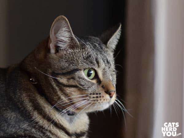 one-eyed brown tabby cat facing right