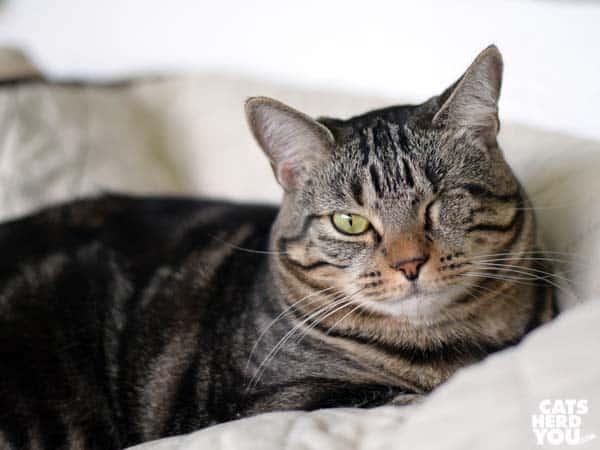 one-eyed broen tabby cat looks skeptical