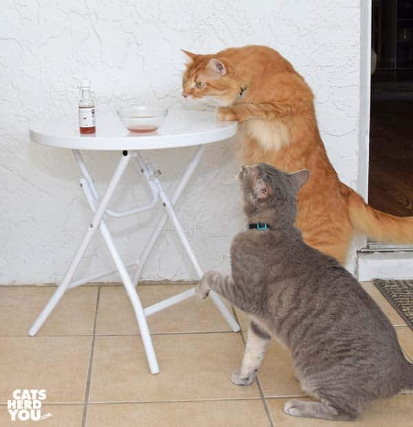 orange tabby cat and gray tabby cat look at cat wine